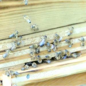 Bienen Imkerei Carl