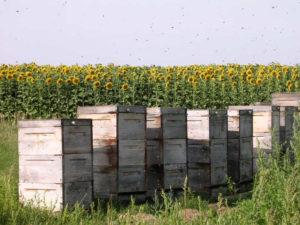 Bienenkaesten im Sonnenblumenfeld Das suesse Leben