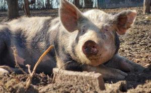 Artgerechte Haltung Schweine in Freilandhaltung Hartmann