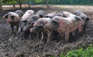 Regional Schweine in Freilandhaltung Hartmann