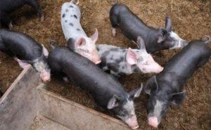 Schweine in Freilandhaltung Hartmann
