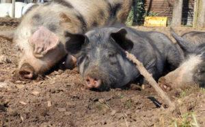 glueckliche Schweine Schweine in Freilandhaltung Hartmann
