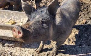 glueckliche Tiere Schweine in Freilandhaltung Hartmann