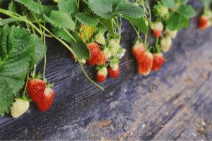 Erdbeeren Bachs Hofladen