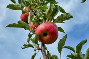 Apfel Kressberger Premium
